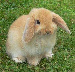 324800_mini_lop_bunny.jpg
