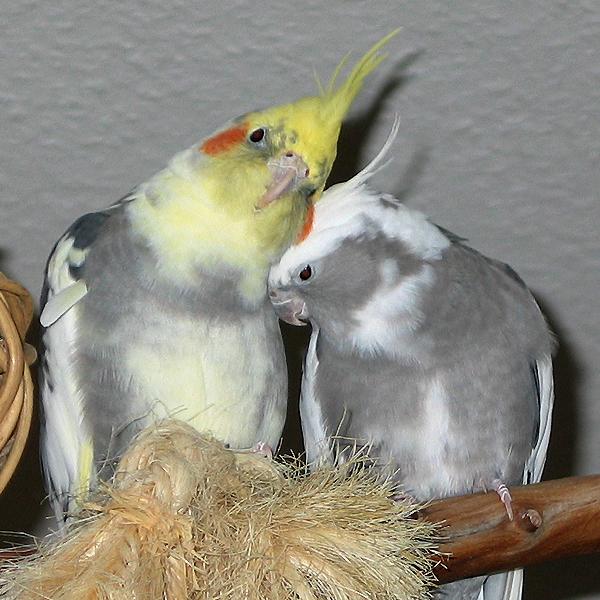 cockatiels.jpg