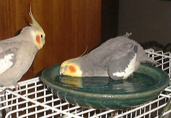 cockatiels_yourbirds_marchapril2006.jpg