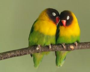 20080714-lovebirds-300×240.jpg
