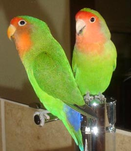 lovebirds_yourbirds_marchapril2006.jpg